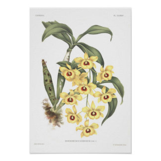 Dendrobium suavissimum poster