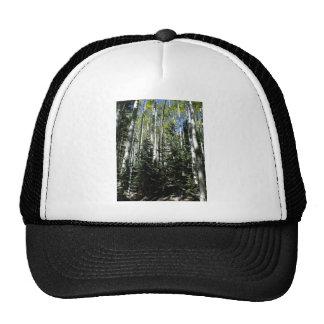 Dense forest of aspen trees cap