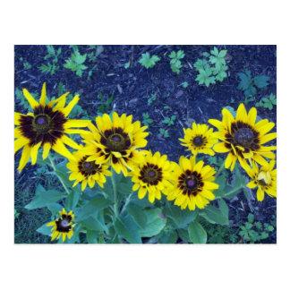 Denver daisies postcard