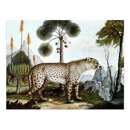Der Gepard or The Cheetah (1886) Post Card