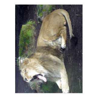 Description Asiatic Lion Chandra Panthera leo pers Postcard