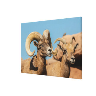 Desert Bighorn Male and Female Canvas Print