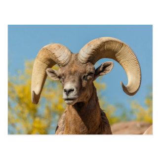 Desert Bighorn Ram Postcard