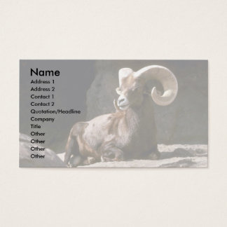 Desert bighorn sheep (Adult ram bedded down in sun Business Card
