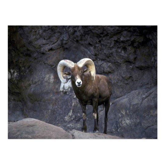Desert bighorn sheep (Adult ram) Postcard