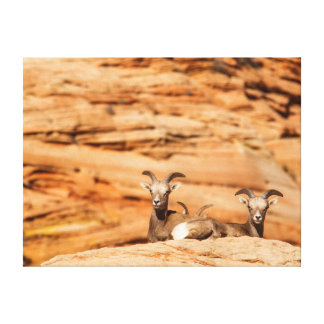 Desert Bighorn Sheep In Zion National Park Canvas Print