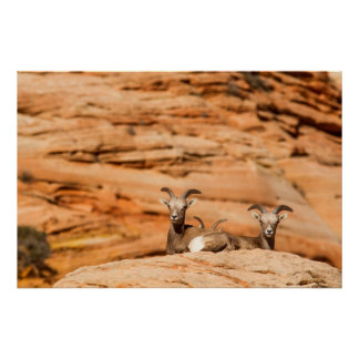 Desert Bighorn Sheep In Zion National Park Poster