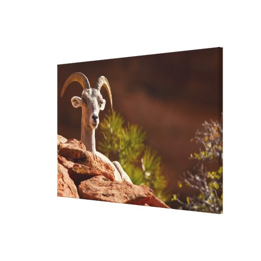 Desert Bighorn sheep (Ovis canadensis nelsoni). Stretched Canvas Prints