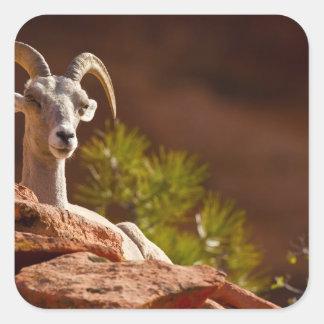 Desert Bighorn sheep (Ovis canadensis nelsoni). Square Sticker
