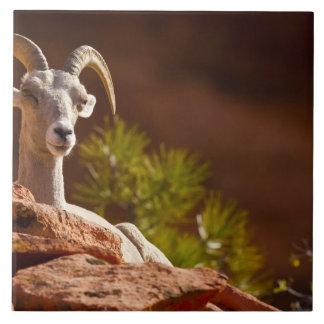 Desert Bighorn sheep (Ovis canadensis nelsoni). Tile