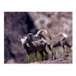 Desert bighorn sheep (Small group) Post Cards