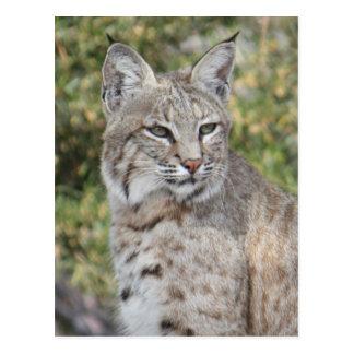 Desert Bobcat Postcard