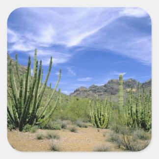 Desert cactus at Organ Pipe National Monument, Square Sticker