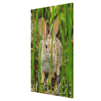 Desert Cottontail Rabbit Canvas Print
