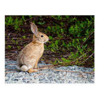 Desert Cottontail Rabbit Postcards