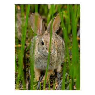Desert Cottontail Rabbit Postcard