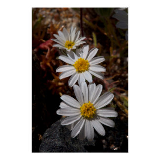 Desert Star Wildflowers Poster