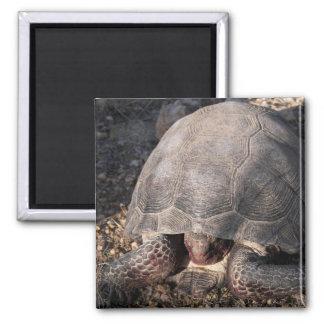 Desert Tortoise Square Magnet