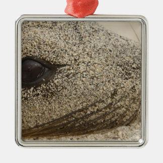 Detail of a Galapagos sealion Zalophus Christmas Ornament