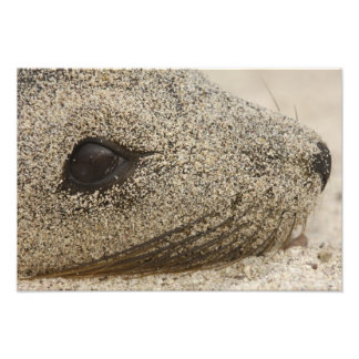Detail of a Galapagos sealion Zalophus Photo Print