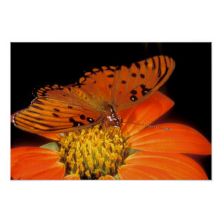Detail of captive gulf fritillary butterfly on poster