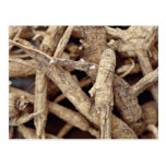 Detailed shot of northern Wisconsin ginseng root