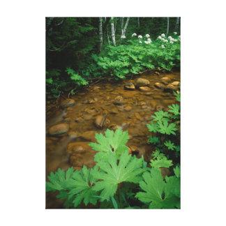 Devils Club lining a stream in Mt. Rainier Gallery Wrap Canvas