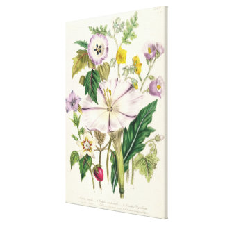 Devil's Trumpet, plate 46 from 'The Ladies' Canvas Print