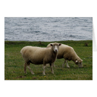 Devon longwool sheep on remote south devon coast card