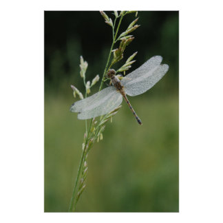 Dew covered Darner Dragonfly Poster