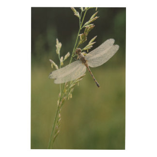 Dew covered Darner Dragonfly Wood Wall Art