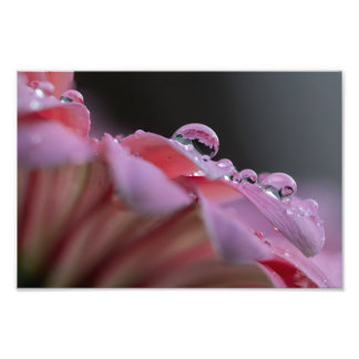 DEW DROPS ON A GERBER DAISY by Michelle Diehl Photograph