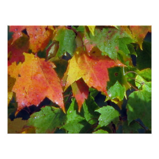 Dew Drops on Maple Poster