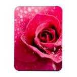 Dew Drops on Rose Premium Magnet Rectangular Magnet