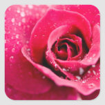 Dew Drops on Rose Stickers