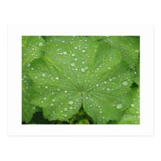 Dew on a Green Leaf Postcard