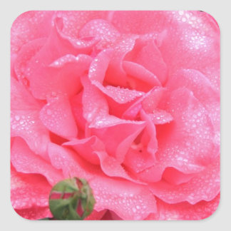 Dewy Pink Rose Square Sticker