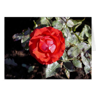 Dewy Rose Greeting Card