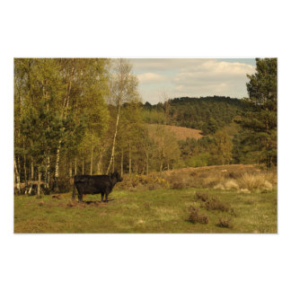 Dexter Cow Admires Hednesford Hills Photographic Print