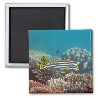 Diagonal Banded Sweetlip (Plectorhinchus lineatus) Refrigerator Magnet