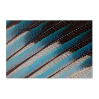 Diagonal Blue-Bellied Roller Feather Design Acrylic Print