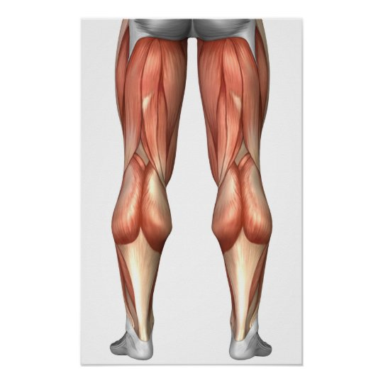 Diagram Illustrating Leg Muscle Groups Poster