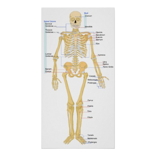 Diagram of a Human Female Skeleton Front View Poster ...