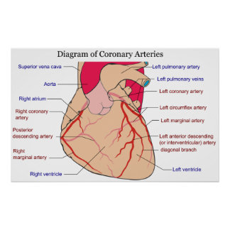 Diagram of the Coronary Arteries of a Human Heart Poster