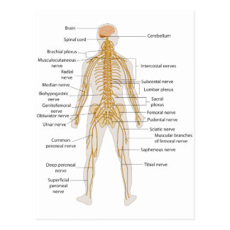 Diagram of the Human Body's Nervous System Postcard