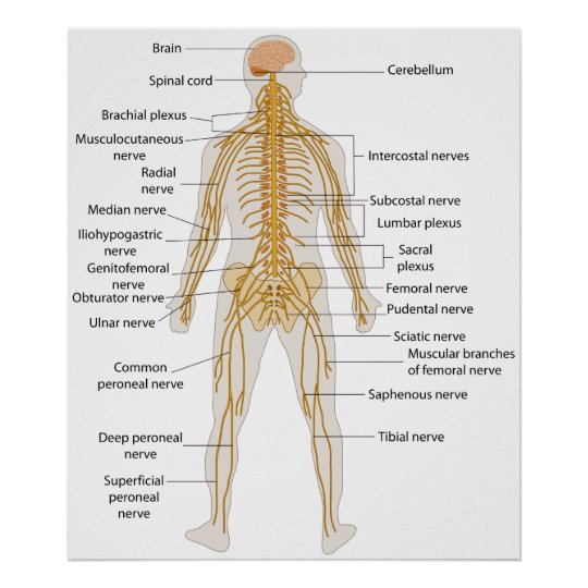 Diagram of the Human Body's Nervous System Poster