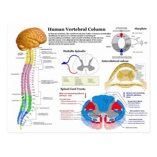 Diagram of the Human Vertebral Column Postcard