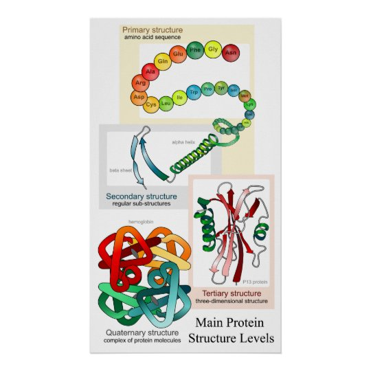 Diagram of the Main Protein Structure Levels Poster