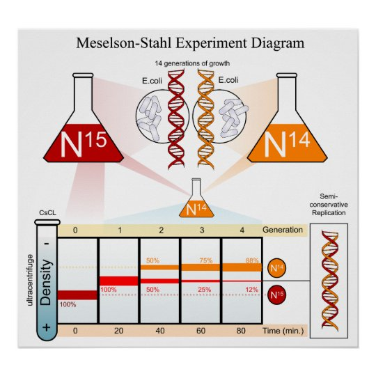 Diagram of the Meselson Stahl Experiment DNA Poster