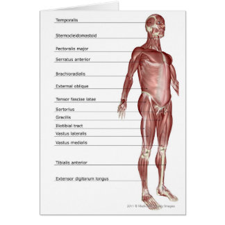 Diagram of the muscular system greeting card